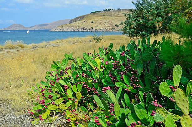 greece_lemnos isla - opuntia robusta fotografías e imágenes de stock