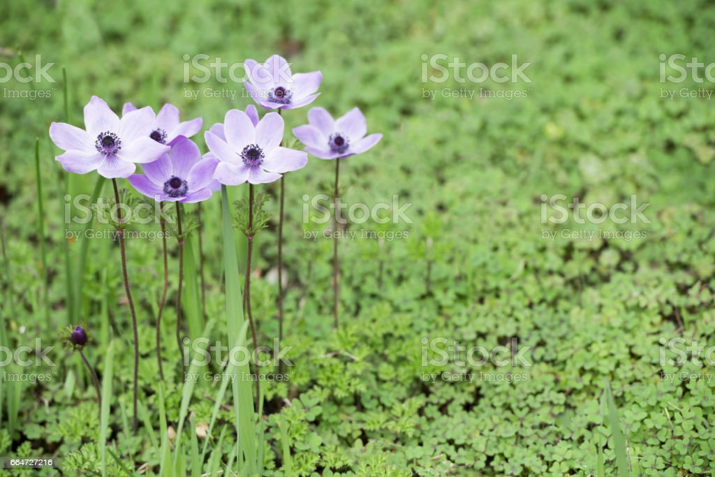 Greek anemone flowers and clover leaves in spring stock photo