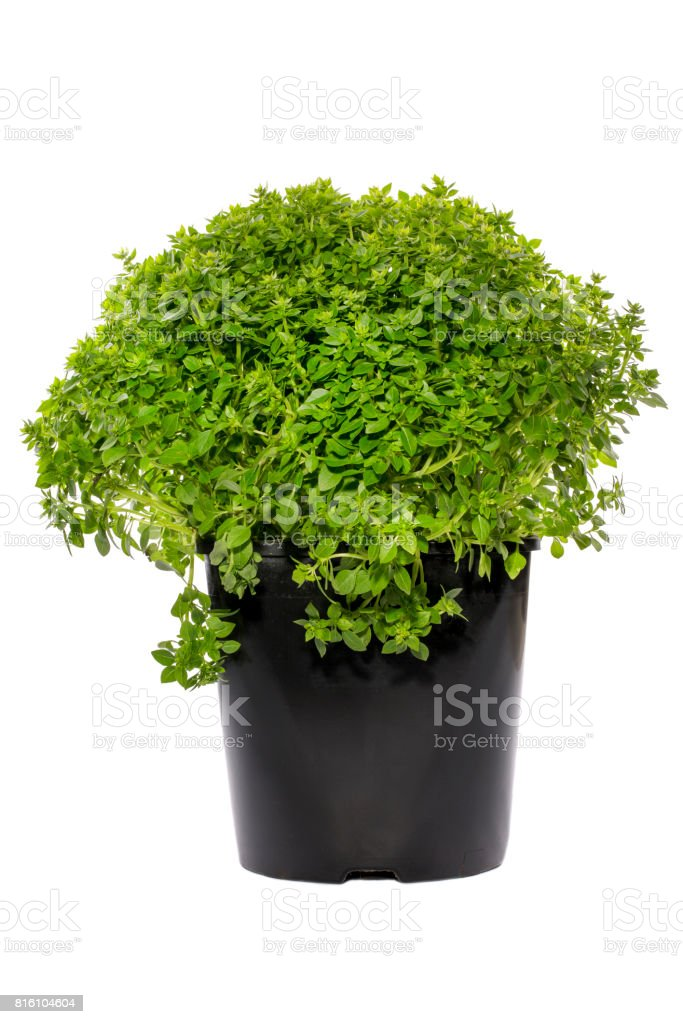 Greek dwarf basil in a pot on a white background stock photo