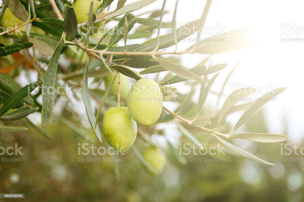 Greek ripe olives royalty-free stock photo