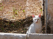 Greek white cat sitting in a village on the island of Evia in Greece