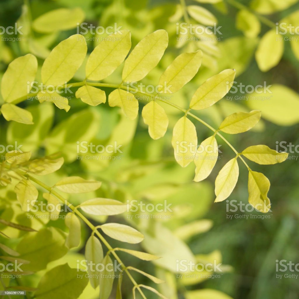 Green Acacia Leaves Robinia Pseudoacacia Stock Photo More Pictures