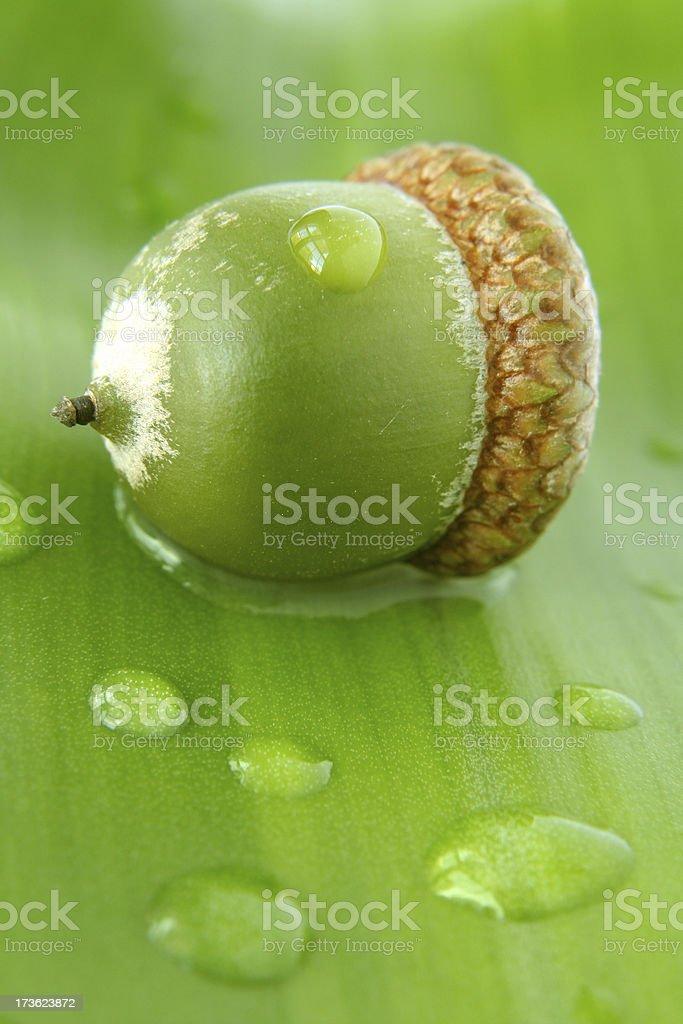 Green acorn on leaf royalty-free stock photo
