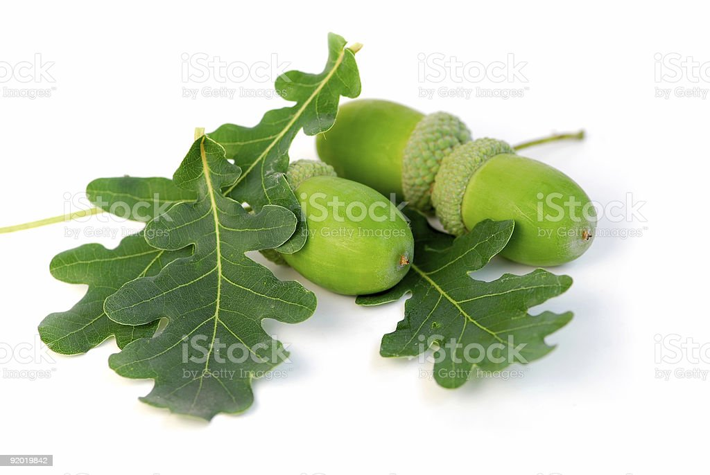 Green acorns with green oak leaves royalty-free stock photo