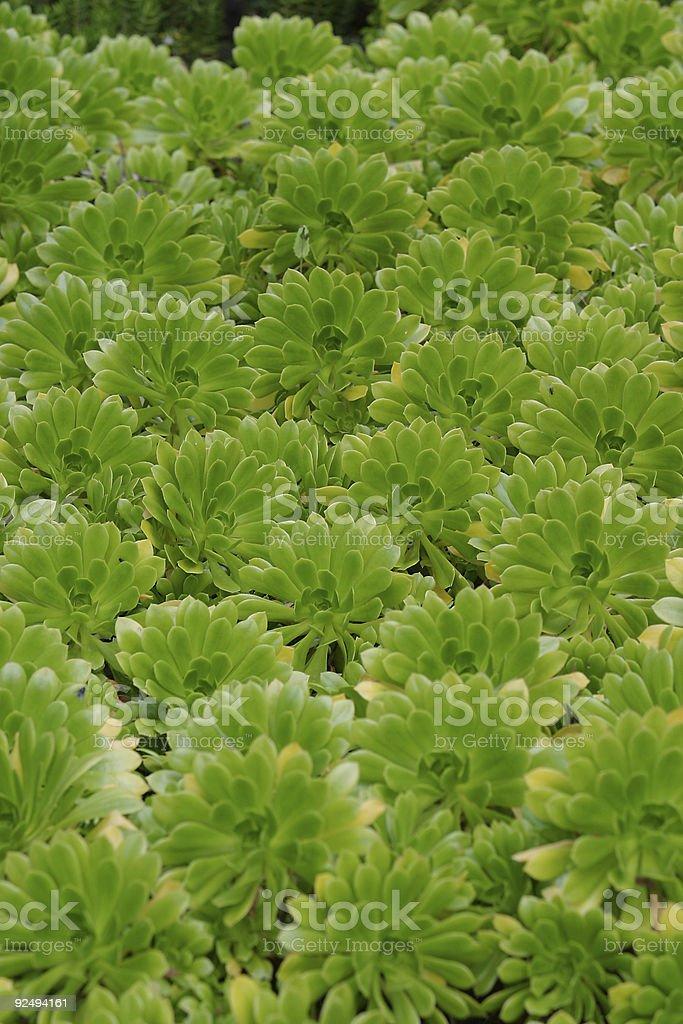 Green Aeonium Background royalty-free stock photo