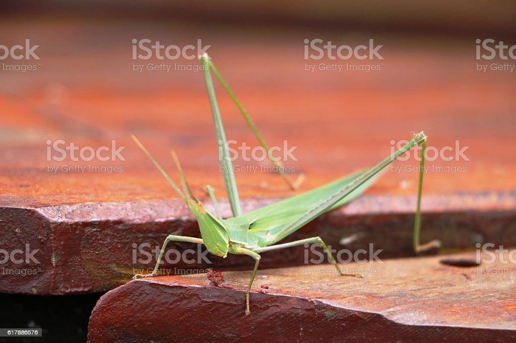 Green african Grasshopper, Botswana Africa stock photo