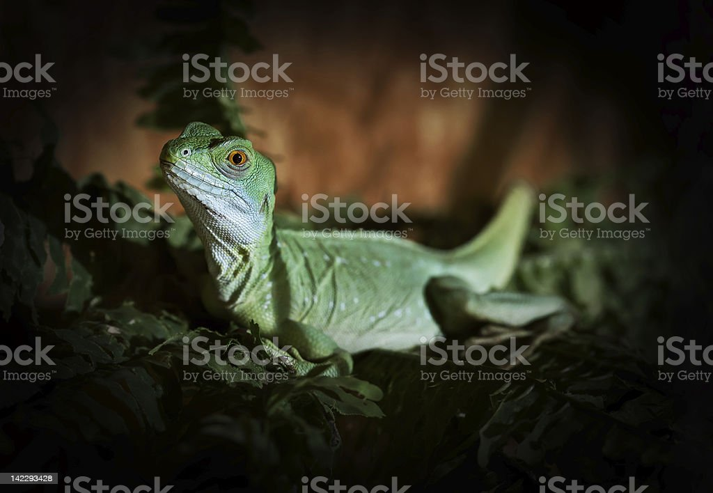 green agame royalty-free stock photo