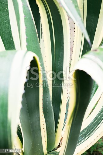 909651510istockphoto Green agave leaves with thorn background. Green thorned agave close-up 1171963611