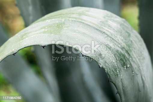 909651510istockphoto Green agave leaves with thorn background. Green thorned agave close-up 1171964250