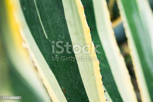 909651510istockphoto Green agave leaves with thorn background. Green thorned agave close-up 1171965681