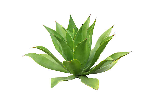 a green agave plant on a white background - sisal stock pictures, royalty-free photos & images