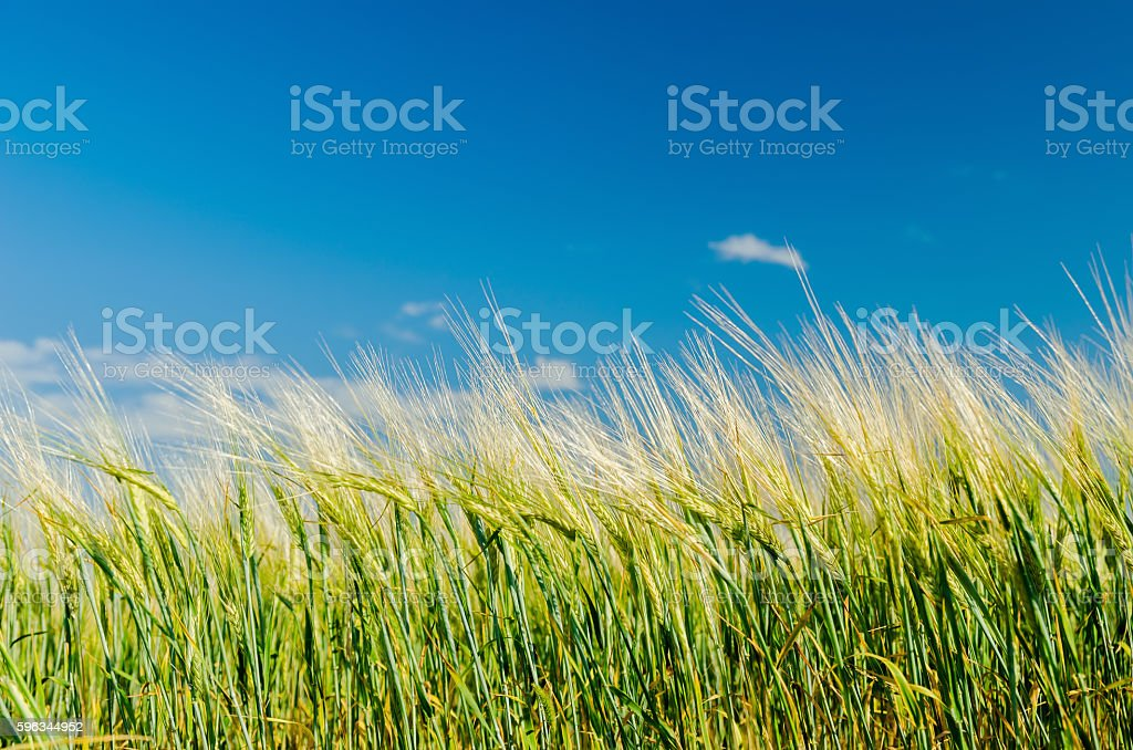 green agricultual field under deep blue sky royalty-free stock photo