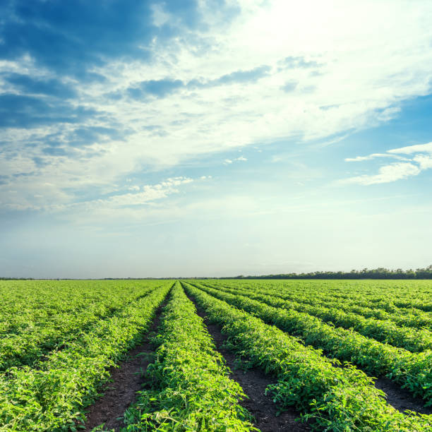 green agriculture field and blue sky with clouds over it - tomato field stock photos and pictures