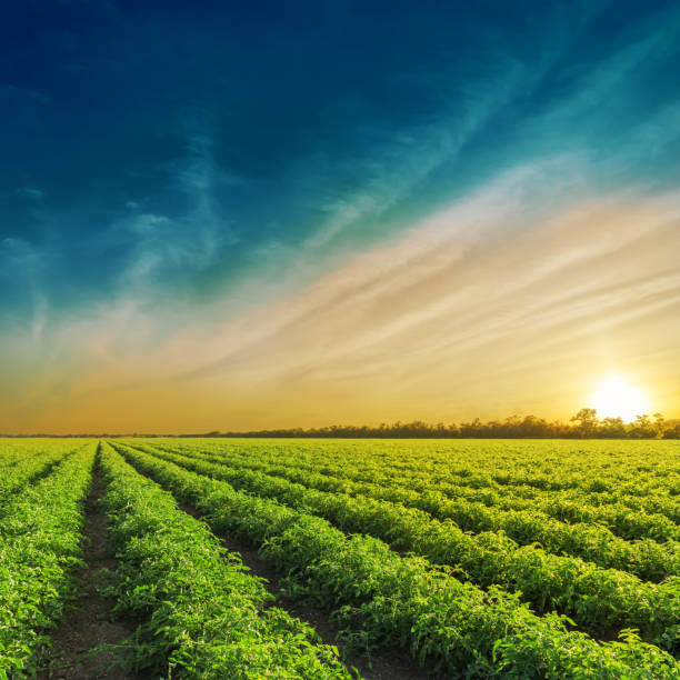 green agriculture field in sunset. tomatoes field - tomato field stock photos and pictures
