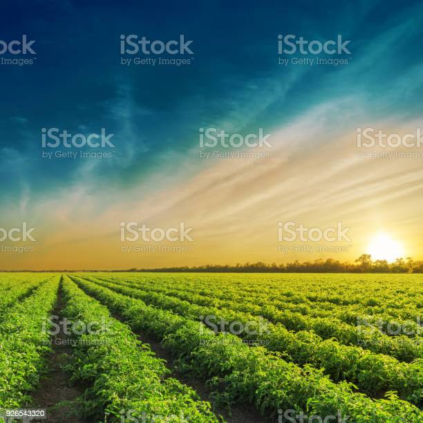 Photo of Green agriculture field in sunset. Tomatoes field