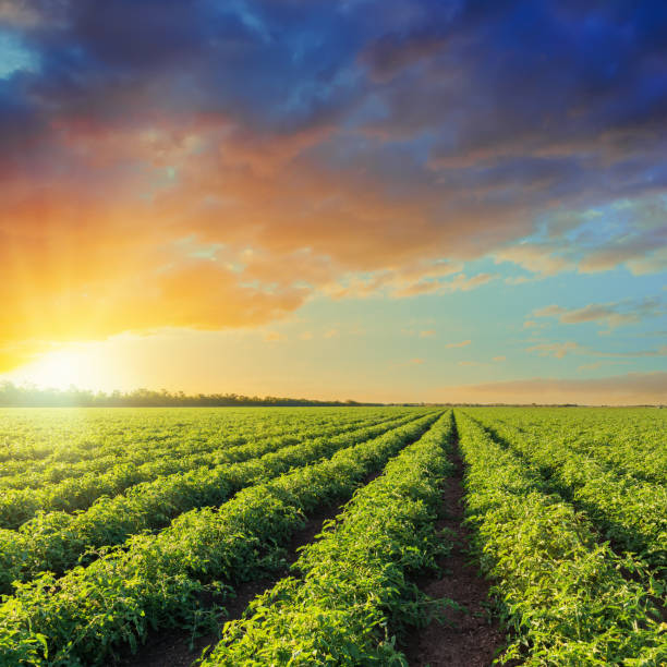 green agriculture field with tomatoes and orange sunset in dramatic sky - tomato field stock photos and pictures