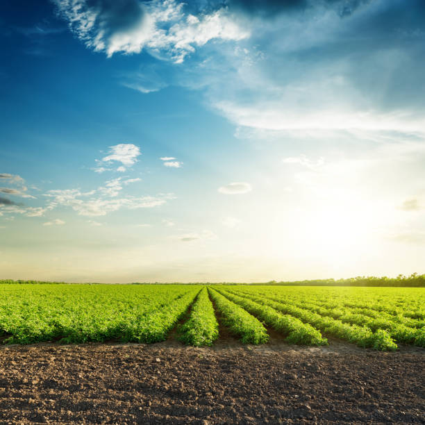 green agriculture fields and sunset in blue sky with clouds - field stock photos and pictures