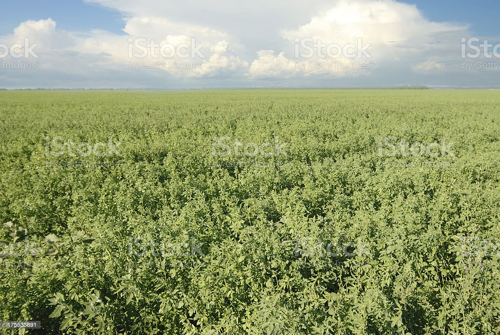 Green Alfalfa in Field on a Sunny Summer Day stock photo