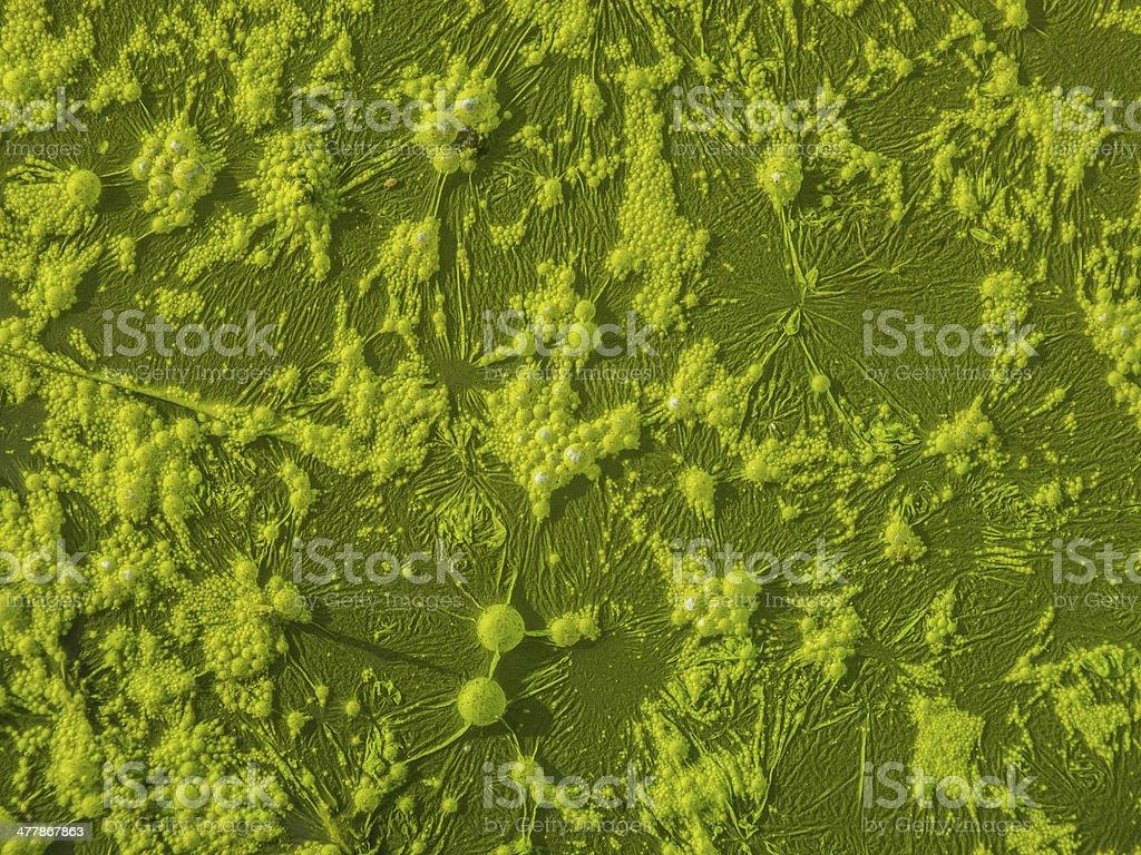green alga in rice field royalty-free stock photo