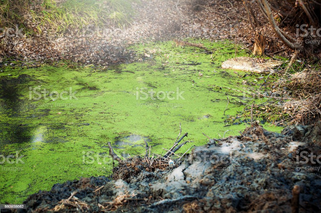 green algae in dirty river, environmental issues stock photo
