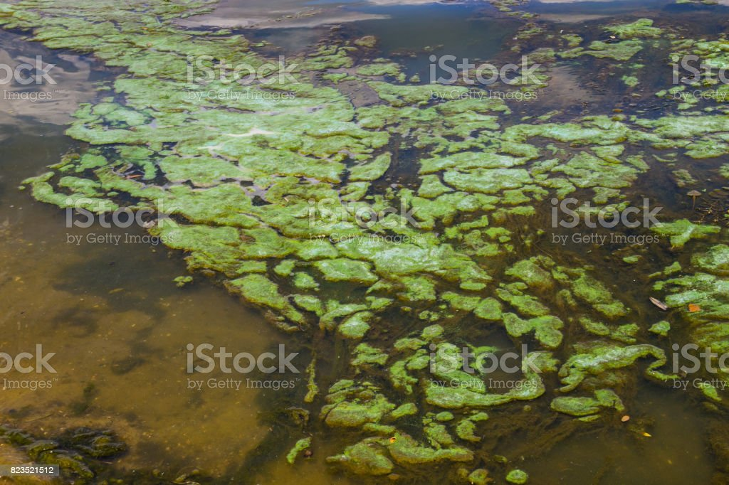 Green algae in the water surface stock photo