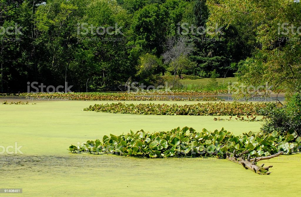 Green algae layer on top of pond royalty-free stock photo