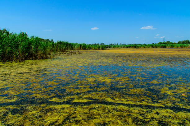 Algas verdes en la superficie del lago - foto de stock