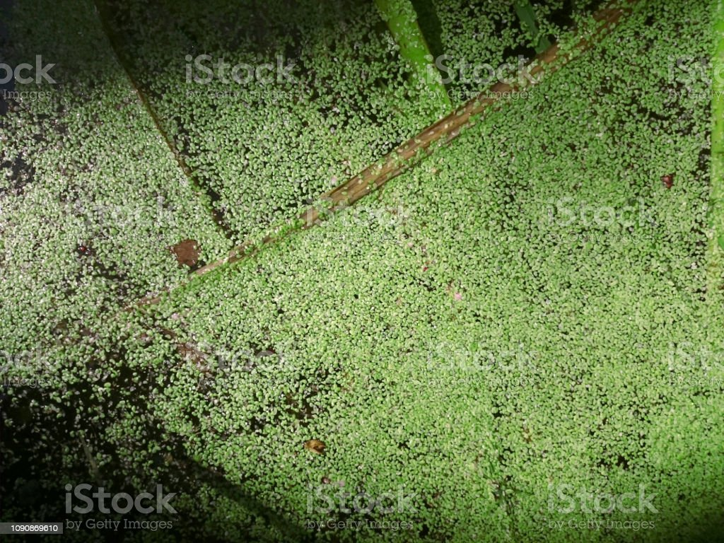 Green algae on surface of the water stock photo