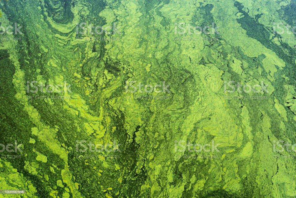 groene algen op het oppervlak van het water foto