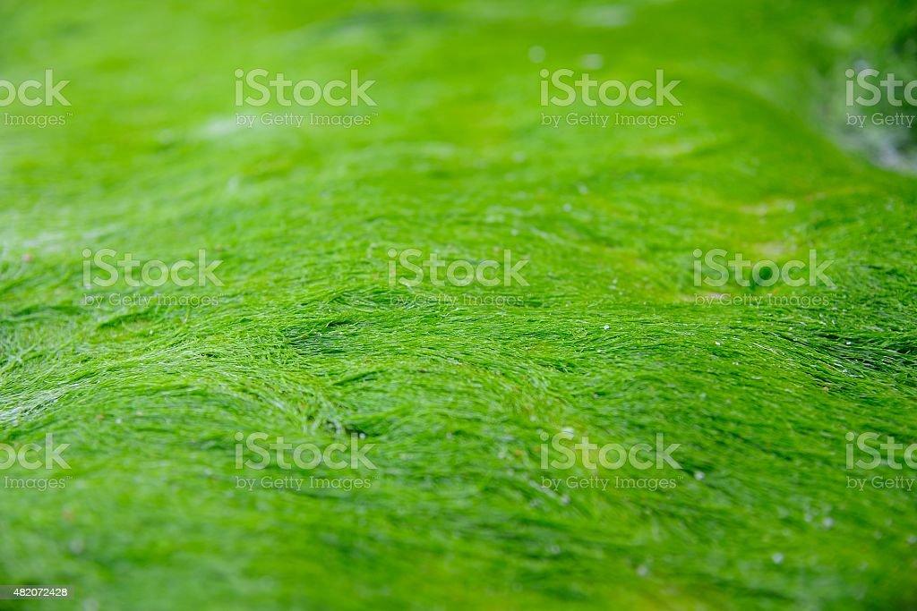 Green algae stock photo