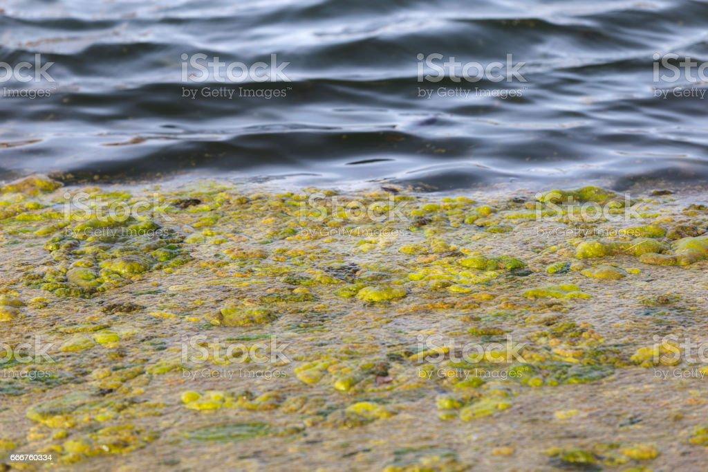 Green Algae foto stock royalty-free