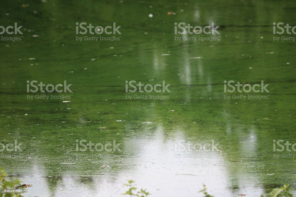 Groene algen foto
