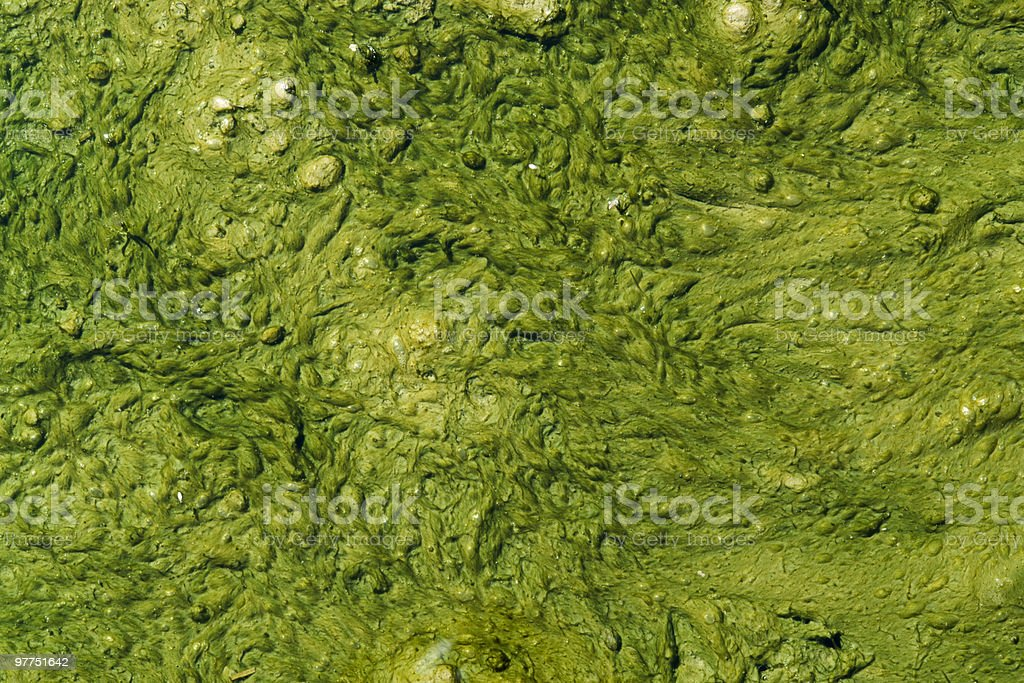 green algae slime royalty-free stock photo