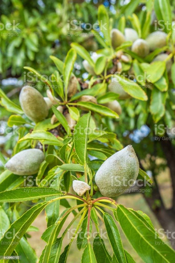 green almonds growing on almon tree stock photo