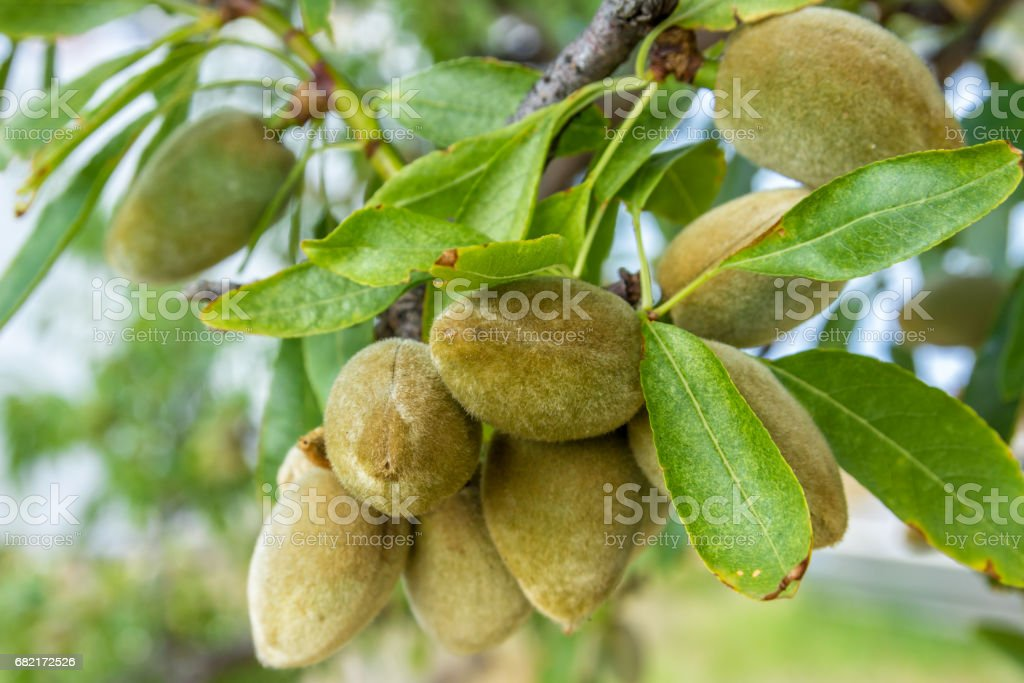 green almonds growing on branch stock photo