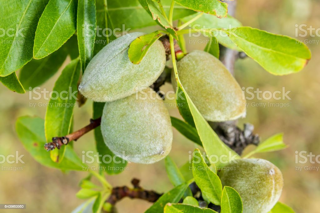 green almonds growing on tree stock photo