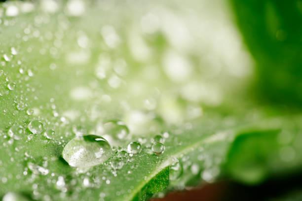 Grünen Aloe Vera Pflanze mit Wassertropfen – Foto
