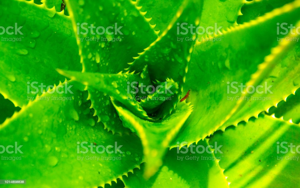 Green aloe vera plant with water drops close up stock photo