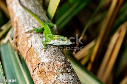 Photo of a green Carolina anole resting on a tree branch. Primary focus on face.