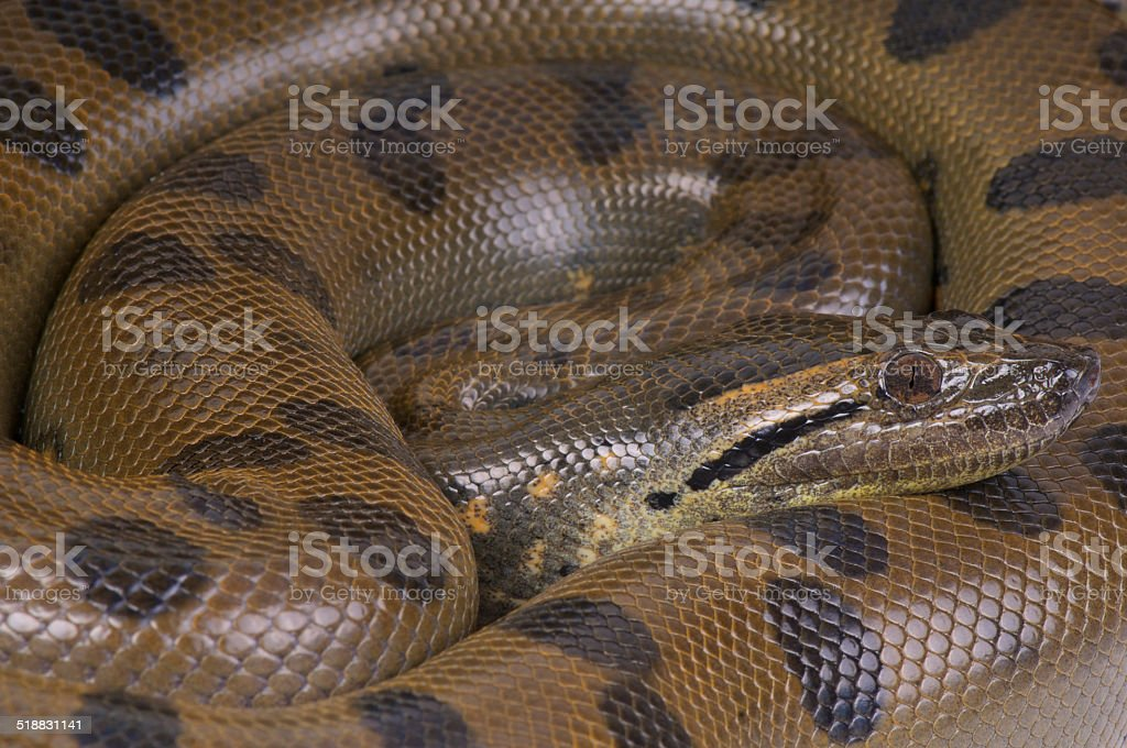 Green anaconda / Eunectes murinus stock photo