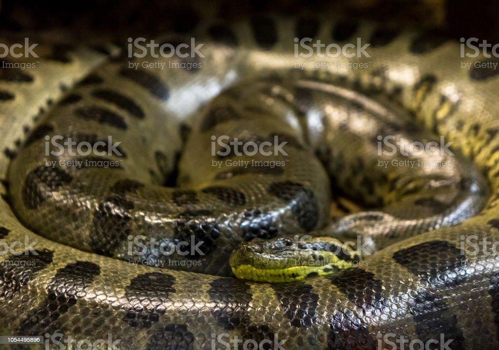 Green anaconda, Eunectes murinus,  sucuri snake.  Huge – zdjęcie