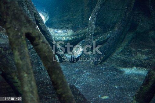 Underwater green anaconda in Amazon wetland.