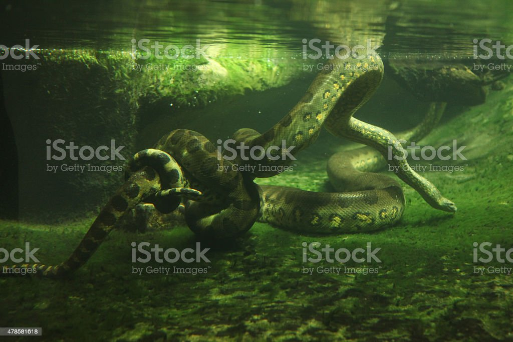 Green anaconda (Eunectes murinus) stock photo