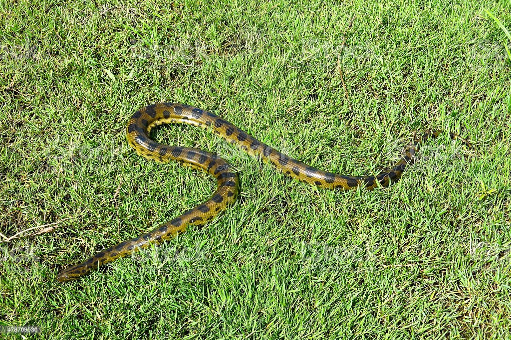 Green Anakonda (Eunectes murinus) – zdjęcie