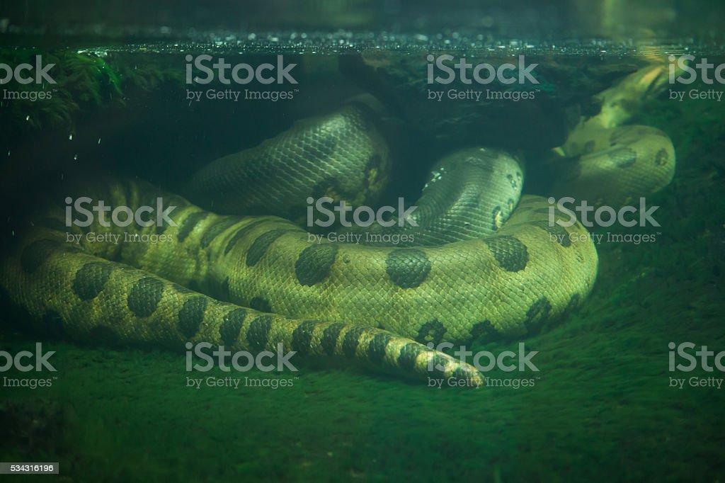 Zielony Anaconda (Eunectes murinus). – zdjęcie