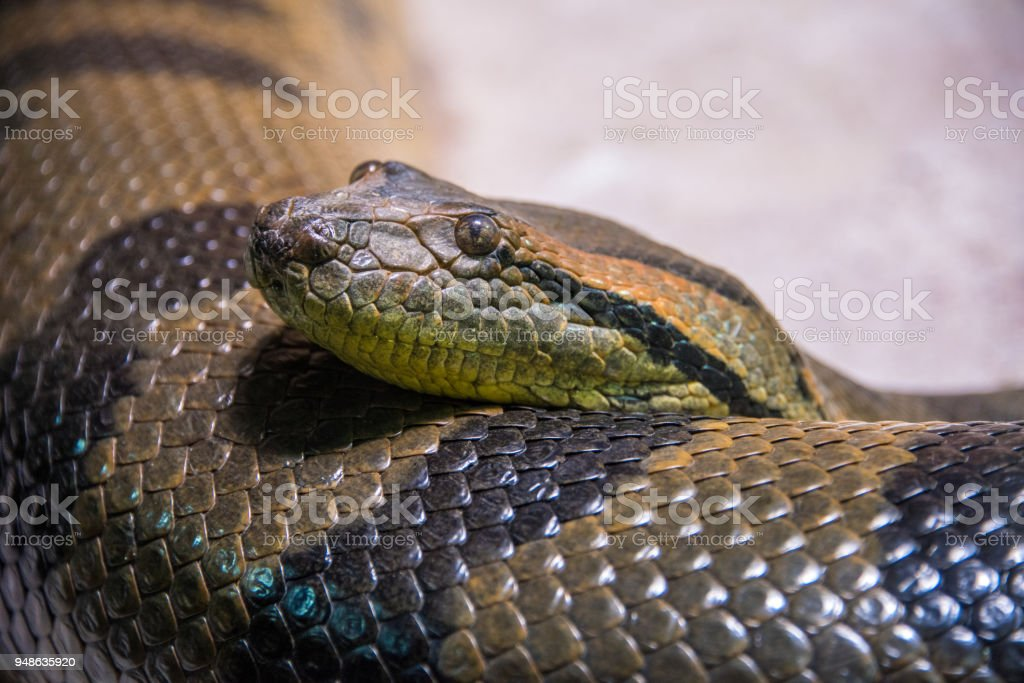 Serpent Anaconda vert - Photo