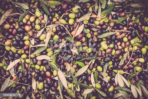 harvested olives ready to be crushed at the mill