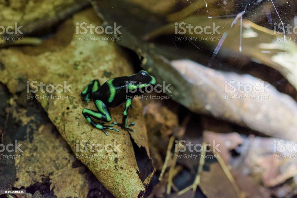 Grüne und schwarze Pfeilgiftfrosch – Foto