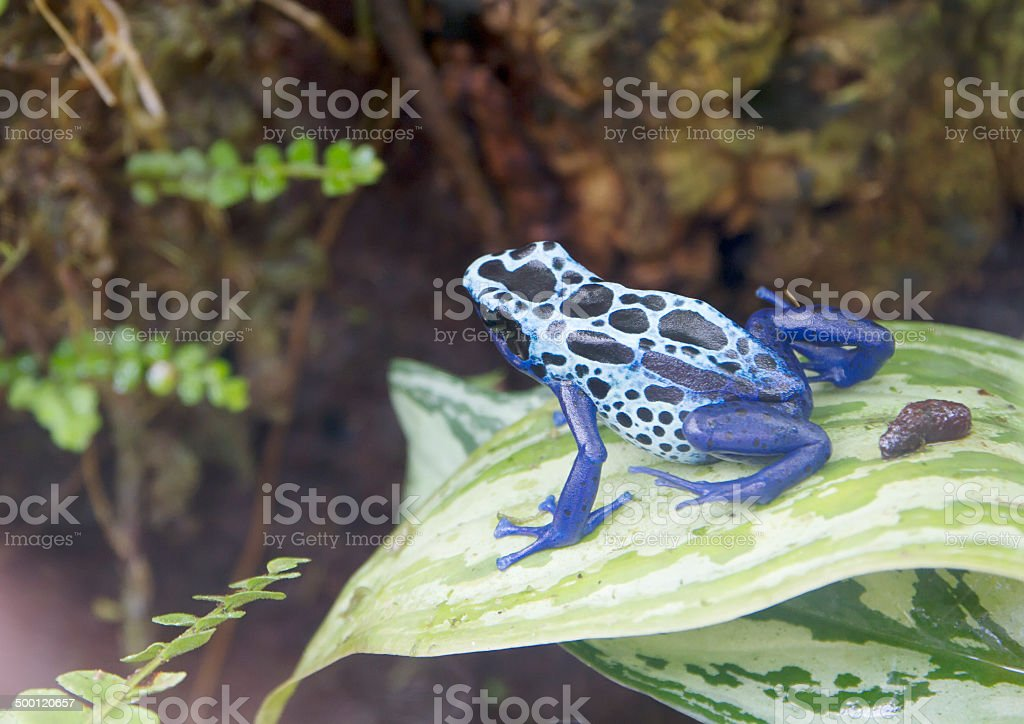 Green and black poison dart frog (Dendrobates auratus) foto