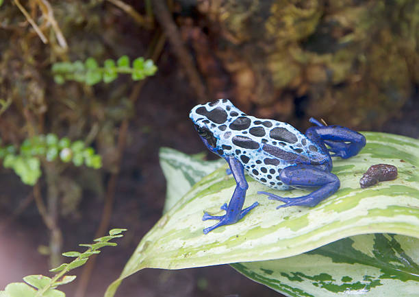 green and black poison dart frog (dendrobates auratus) - mantonature amfibieen stockfoto's en -beelden
